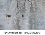 Male And Female Mallards On Th...