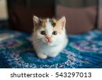 Stock photo calico kitten 543297013