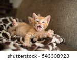 orange kitten yawning  | Shutterstock . vector #543308923