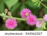 Wildflower Pudica Mimosa