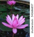 Beautiful Pink Waterlily ...