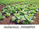 Small photo of Tobacco farm