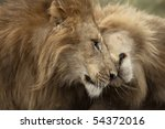 Two Adult Lions  Serengeti...