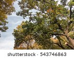 the branches of the crown of a ... | Shutterstock . vector #543746863