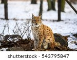 lynx in winter | Shutterstock . vector #543795847