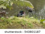 Small photo of View of the beautiful Male wood duck (Aix sponsa).