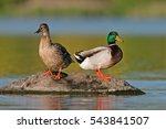 wild duck  anas platyrhynchos ... | Shutterstock . vector #543841507