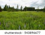 Purple  Wild Lupins  Lupinus...