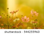 beautiful cosmos flower... | Shutterstock . vector #544255963