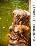 Hippopotamus In The Water ...