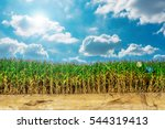 The Cornfield On The Land With...