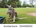 Mother Kangaroo Carrying Her...