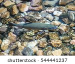 a live  swimming rainbow trout... | Shutterstock . vector #544441237