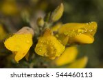 Western Gorse With Water...