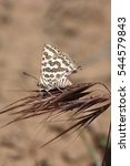 Small photo of Cygaritis acamas - the tawny silverline, Arab leopard or leopard butterfly, is a species of lycaenid or blue butterfly from the Western Kazakhstan