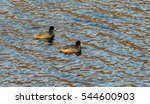 Two American Coot Swimming In ...