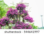 Purple Bougainvillea...