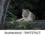 Adult Lioness