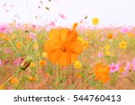 pink and yellow cosmos flower... | Shutterstock . vector #544760413