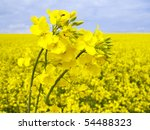 Flowering Oilseed Rapeseed