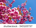 tree blossoming in early spring ...   Shutterstock . vector #545105737