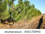 Young Pine Trees Growing In A...