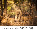 the asiatic lion  panthera leo... | Shutterstock . vector #545181607