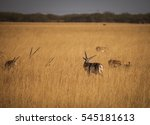 Blackbuck Is An Antelope Found...