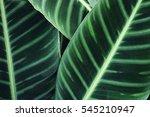 green calathea leaves... | Shutterstock . vector #545210947