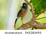 Small photo of Jungle myna (Acridotheres fuscus) sitting on a tree on Taveuni Island, Fiji