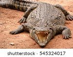 Nile Crocodile With Gaping...