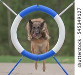 Small photo of Belgian Shepherd Tervuren jumps through agility ring