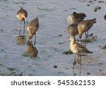 Bar Tailed Godwits  Limosa...