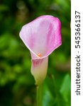 Pink Calla Lily Flower On Gree...
