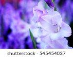 Purple Gladiolus Flower In...