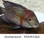Small photo of The gold saum (Andinoacara rivulatus, syn. Aequidens rivulatus) or green terror fish