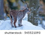 Eurasian Lynx  Lynx Lynx ...