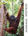 Small photo of Hanging alpha male orangutan, Tanjung Puting National Park.