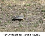 Small photo of Turtle (walking across a field)