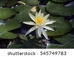 Yellow Waterlily Or Mexican...