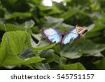 Morpho Menelaus Butterfly On...