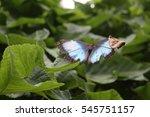 Morpho Menelaus Butterfly On...