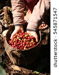 Small photo of harvesting arabica coffee berries with agriculturist hand in Lao pdr