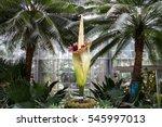 amorphophallus titanum known as ... | Shutterstock . vector #545997013