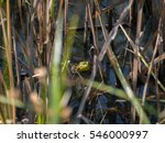 Small photo of American Bullfrog in the Grass in Delaware County Park in Central Ohio