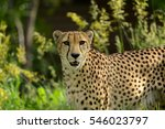 cheetah hunting in tall grasses | Shutterstock . vector #546023797