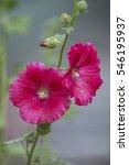 Small photo of Malva (Alcea rosea hollyhock) pink flower
