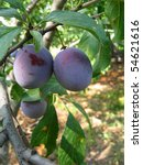 ripening plums on a tree in... | Shutterstock . vector #54621616