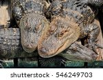Small photo of A stack of alligators.