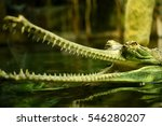Detail Of Head Of Gharial In Zoo